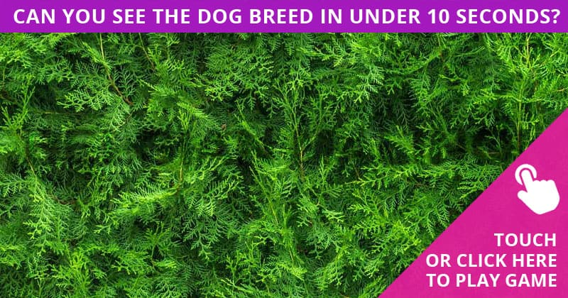 Almost No One Can Achieve 100% In This Hidden Dog Breeds Visual Game. Are You Up To The Challenge?